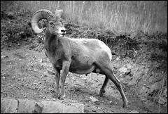 Standing Tall (greenthumb_38) Tags: canada reunion rockies sheep canadian alberta bighorn 2012 bighornsheep canadianrockies jeffreybass august2012 moseankoreunion canadianbighornsheep
