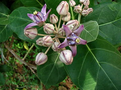 Calotropis sp/Crown Flower/Waxflower/Hoya---2nd of 3 photos (Hesperia2007) Tags: plant flower flora lavender srilanka apocynaceae dogbane milkweed botany habitat hoya southasia waxflower calotropis crownflower asclepiadoideae