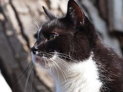 Felix (arjuna_zbycho) Tags: pet cats pets cute animal animals cat blackcat austria sterreich kitten feline chat felix kitty kittens tuxedo gato tuxedocat gatto katzen haustier kater niedersterreich tier gattini rakousko hauskatze