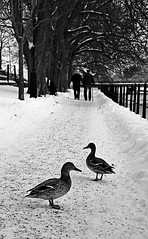 Mallards and an old couple (Explore) (Tim Lindstedt) Tags: life park street old trees winter light bw favorite white inspiration snow black cold tree slr art scale nature monochrome beautiful beauty lines weather animal composition digital canon way season grey mono frozen photo duck scenery couple flickr frost seasons view image sweden snowy walk scenic picture ducks frosty best line chrome photograph walkway scenary freeze views frame imagination mallard sverige february dslr leading winterland mallards greyscale arboga 2013 550d timlindstedt
