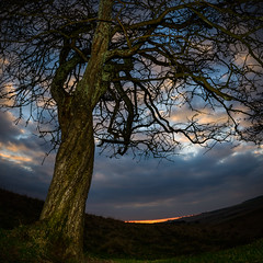 Gnarled tree (Mister Electron) Tags: tree landscape evening gnarled eastyorkshire explored yorkshirewolds millingtondale nikond800