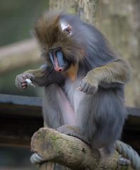 _DSC2776.jpg (Ingeborg Ruyken) Tags: zoo march nederland thenetherlands ape aap mandrill rhenen maart dierentuin naturephotography ouwehandsdierenpark zooanimals mandril natuurfotografie 2013 maartjegozefoort catzooanimals