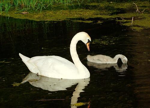 Knölsvan / Mute Swan