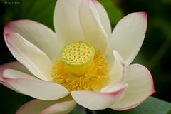 lotus (loobyloo55) Tags: flowers white flower nature fleur yellow flora lotus fiori fiore botanicalgardens thebotanicalgardenssydney