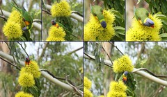 Lorikeet Feasting (Gillian Everett) Tags: collage australia queensland rainbowlorikeet trichoglossushaematodus goldenpenda noosahinterland