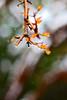 شاخه انار زیر برف (Alias_239) Tags: snow tree iran blossom pomegranate bud ایران درخت qom برف شکوفه انار قم قطره