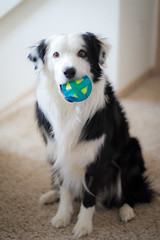 Almost a Tennis Ball (Anda74) Tags: ball toy sitting indoor bordercollie ouzo canonef50mmf14usm