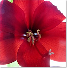 Still Christmas? (HJsfoto) Tags: flowers red home amaryllis blommor musictomyeyes macroflowerlovers auniverseofflowers awesomeblossoms
