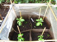 Broadbeans (minucorkish) Tags: ireland garden beans cork growing organic broad permaculture