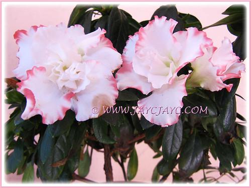Rhododendron simsii or azalea indica white flowers with frilly pink rhododendron simsii or azalea indica white flowers with frilly pink edges a bicolored variety mightylinksfo