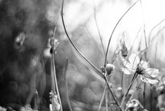 Monochrome spring...#2 (HBW) (Angelo G.I.O.) Tags: flowers light sunset bw sun sunlight white black streets flower home nature monochrome leaves wednesday thailand outside outdoors happy 50mm evening daylight blackwhite petals stem nikon asia afternoon shadows dof bokeh availablelight bangkok daytime 18 naturalight eveninglight naturalscenery d3000 bangkae happybokehwednesday nikond3000 beyondbokeh phetkasemroad phetkasem