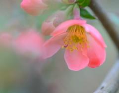 Flowering Quince (love_child_kyoto) Tags: masterphotos afotando takenwithlove mindigtopponalwaysontop  thegoldenachievement goldenachievement dreamlikephotos