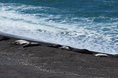 elefantes marinos / elephant seals (Gafapasta Photography) Tags: travel southamerica argentina sony alpha travelphotography argentinien sudamrica amricadelsur sdamerika a55