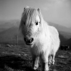 White Pony (osh rees) Tags: winter blackandwhite horse mountains 120 film animal wales rollei rolleiflex zeiss mediumformat kodak tmax depthoffield pony filter 400 carl nd shallow snowdonia rees planar eryri osian 35f nd4 moeleilio