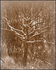 Bare tree with snow (Landanna) Tags: bw white snow black nature sepia sneeuw natur natuur zwart wit sort baretrees hvid sne zw