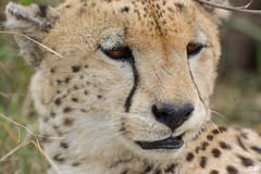 Cheetah (muddii) Tags: portrait cat wildlife safari cheetah fotosafari kenia gepard tierportrait maramasai