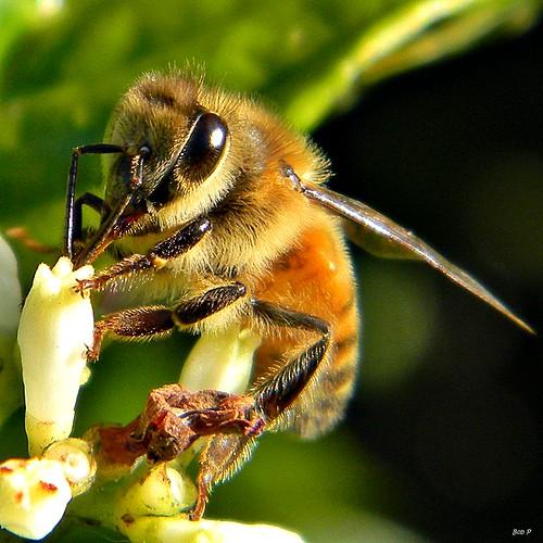 macro nikon florida bees ngc insects bee honey gathering western coolpix nectar honeybee palmbeachcounty apis pollination apismellifera apidae bobpeterson taxonomy:family=apidae taxonomy:binomial=apismellifera frenchmansforestnaturalarea