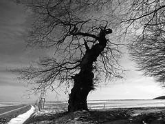 GhostOak (RainerSchuetz) Tags: winter snow tree silhouette oak explore eiche explored