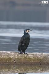 Grand Cormoran (riomicael) Tags: bird nature rio landscape duck nikon eau suisse lac animaux canard oiseaux cormoran d90 gouille monthey chablais 340mm riomicael