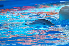 DSC_3151 (SChildersPhotography) Tags: maple whisper dolphin malia beluga belugawhale seaworld kayla shamu killerwhale swf klondike katina orcinusorca bottlenosedolphin tursiopstruncatus nalani seaworldorlando pilotwhale tilikum bluehorizons shamustadium aurek bottlenoseddolphin oneocean seaworldflorida trua makaio dolphinnursery