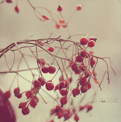 the heart of others (silviaON) Tags: red branch berries april vase ie rosehip textured 2013 memoriesbook lesbrumes magicunicornverybest magicunicornmasterpiece isabellafranceaction