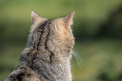 JPAS20130401-2129.jpg (Sander Strijdhorst) Tags: duitsland isselburg wildekat anholterschweiz noordrijnwestfalen