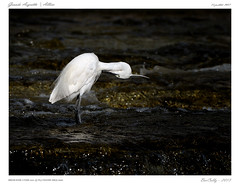Grande Aigrette (BerColly) Tags: france bird river google flickr riviere allier auvergne puydedome aigrette bercolly oisueau nikkotr500f4afs