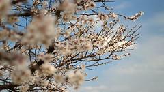 Blossom (Lee-man80) Tags: 35mm nikon dof blossom hd split nikkor polarizer afs hoya pol dx cir toning f18g d3100