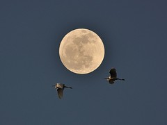 Great Egrets fly with Moon.........Explored (l_dewitt) Tags: overlay fullmoon marchfullmoon greategretssoutheasternconnecticut