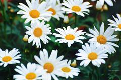 reminders (Chez C.) Tags: flowers wild plants plant nature floral daisies lomo lomography soft dof artistic blossom  depth  pastle nikond600