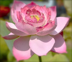 Good Fortune to You (The Spirit of the World ( On and Off)) Tags: flower flora lotus buddhism vietnam tet saigon hochiminhcity soe hcmc lotusflower goodfortune flowerthequietbeauty