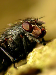 Fliege (acmelucky777) Tags: portrait macro nature up animal animals portraits germany insect deutschland tiere foto close wildlife natur insects retratos nrw makro mode portaits insekt ritratti 250 tier insekten entomologie fliege  fliegen westfalen dcr nordrhein insecta raynox makroaufnahmen alsdorf 2013 sarcophagidae brachycera portraitaufnahmen fleischfliege  kerbtiere 1620618