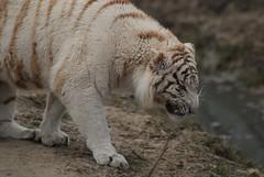 Weier Tiger im Parc des Flins in Nesles (Ulli J.) Tags: france zoo frankreich ledefrance whitetiger seineetmarne parcdesflins tigreblanc nesles weisertiger lumignyneslesormeaux