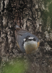 Red-breasted Nuthatch - Sitta canadensis (kttyhwkr (Might Delete Soon)) Tags: bird nature nikon texas wilsoncounty sittacanadensis redbreastednuthatch stockdale d5000 jacksonnaturepark