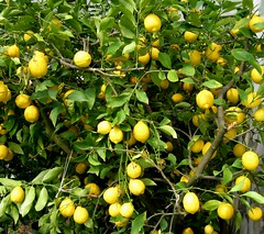 Limoni - lemontree - Zitronenbaum (arcobaleno2009) Tags: primavera garden spring lemon giardino limoni zitronen calvisano bassabresciana