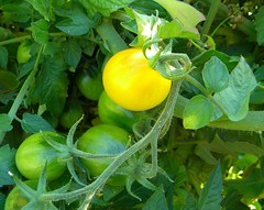 (lucidcats) Tags: light sunlight plant green leaves yellow tomato washington leaf state vancouverwa thebestyellow