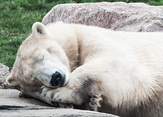 sweet dreams (SleepingBear) Tags: polarbear columbuszooandaquarium sleepingbearimagewear nikond300s