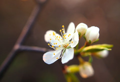 just a blossom (BryanBowman) Tags: flower macro photography spring