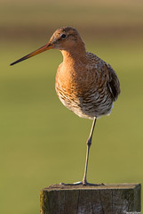 Grutto - Black-Tailed Godwit (wimzilver) Tags: bird vogels 7d alblasserwaard vogel grutto blacktailedgodwit limosalimosa weidevogel canon300mmf4lis bleskensgraaf geerweg dedonk wimzilver donkselaagten natura2000gebied canon300mmf4lis14ex