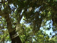 Moss On Tree Rush Creek Open Space Preserve Novato California (Dunby PICS) Tags: pictures california tree creek moss san open pics space marin picture pic rush bahia petaluma novato exit avenue preserve atherton levee on pinheiro binford 2013 bugela wdunby marincountyorg marincountyparksorg