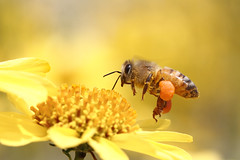 Bzzzzzzzzzzzzzz (bmse) Tags: macro canon fly flying 100mm bee 7d salah bmse baazizi