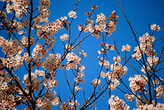 Sakura Blue  (Sue Ann Simon) Tags: pink flowers blue school flower nature japan cherry japanese 50mm see petals spring nikon picnic pretty day bokeh flash blossoms wide wideangle bluesky highschool petal clear   sakura cherryblossoms bud  nagasaki hanami sasebo     flowerviewing    dayflash  prunusserrulata flowerumbrella bokehphotography sueannsimon