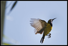 Olive-backed Sunbird (Gerald Yuvallos) Tags: nature birds canon philippines 300mm cebu sunbird 2x cebusugbo olivebacked 28is istoryanet fafagraphy