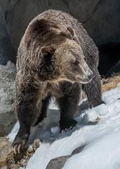 DSC_0371-1 (craigchaddock) Tags: montana scout sandiegozoo centenial grizzlybear enrichment ursusarctoshorribilis centenialcelebration snowenrichment sdzoo100