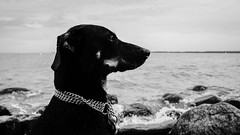 Mia at the Beach (kornflakezzz) Tags: dog hund sw bw schwarz weis black white strand meer beach ocean portrait pet photo shot close up epic tiere vierbeiner animal animals dogs baltic sea friendly cute best friend sony alpha a57 sigma