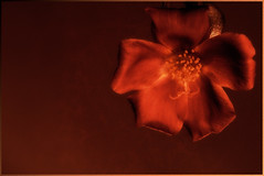 On a hot summer night....  explored! (Robin Penrose) Tags: 201607 red flower orange yellow deep ps6 filter layers lowkey art minimal