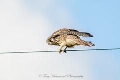 Kestral (falco tinnunculus) (phat5toe) Tags: kestral falcotinnunculus raptor prey birds avian feathers wildlife nature wigan nikon d7000 sigma150500