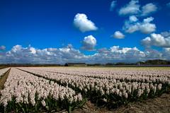 bollenveld (gerard de mooij) Tags: blue sky holland blauw lucht bloemen bollen hyacinth tulpen bollenveld bulbfields bloembollen