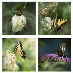 Around The Lake (iShootPics) Tags: montage adapted lens butterflies sony insect canon70300mm collage nature adaptedlens a6000 a7r