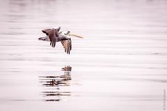 Peru - Paracas (Henk Verheyen) Tags: peru paracas zomer vakantie water ica pe see pelican